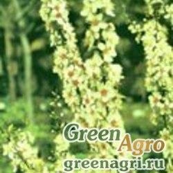 Слива малая (Prunus humilis) 60 гр.