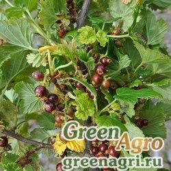 Смородина закрытая (Ribes cucullatum) 0.5 гр.
