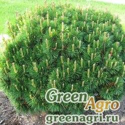 Сосна горная Мугус (Pinus mugo mughus) 10 гр.