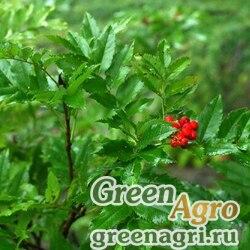 Рябина бузинолистная (Sorbus sambucifolia) 4 г