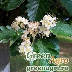 Рябина промежуточная/шведская (Sorbus intermedia) 10 гр.