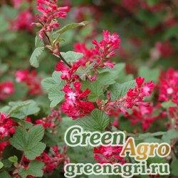 Смородина кроваво-красная (Ribes sanguineum) 4 гр.