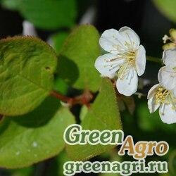 Слива орегонская (Prunus subcordata) 6 гр.