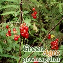 Смородина манчжурская (Ribes mandshuricum) 5 гр.