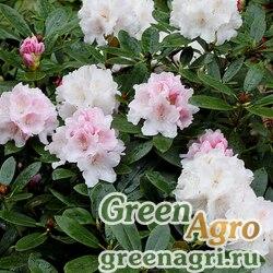 Рододендрон якусиманский (Rhododendron yakusimanum) 0.3 гр.