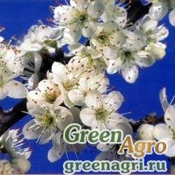 Слива колючая / Терн (Prunus spinosa) 300 гр.