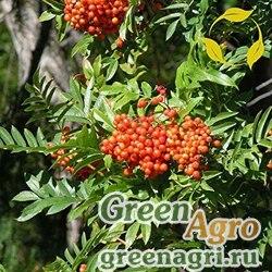 Рябина горная (Sorbus scopulina) 4 гр.