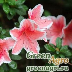 Рододендрон Симса (Rhododendron simsii) 0.18 гр.