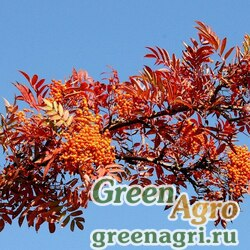 Рябина американская (Sorbus americana) 4 гр.