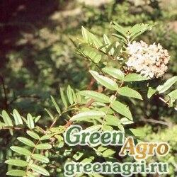 Рябина похуашаньская (Sorbus pohuashanensis) (плоды) 30 гр.