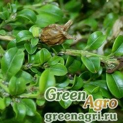 Самшит мелколистный (Buxus microphylla) 10 гр.