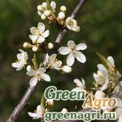 Слива домашняя (Prunus domestica) 300гр