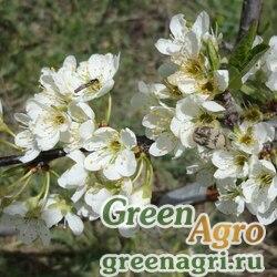 Слива китайская (Рrunus chinensis) 60 гр.