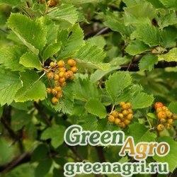 Рябина полунадрезанная (Sorbus semiincisa) (плоды) 10 гр.