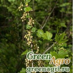 Смородина черная (Ribes nigrum) 10 гр.