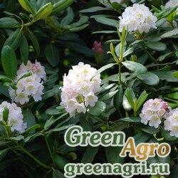 Рододендрон короткоплодный (Rhododendron brachycarpum) 1 гр.