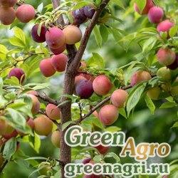Слива иволистная (Prunus salicina) 60 гр.