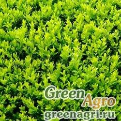 Самшит мелколистный корейский (Buxus microphylla var. koreana) 10 гр.