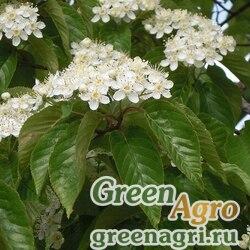 Рябина ольхолистная (Sorbus alnifolia) 20 гр.