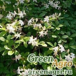 Рододендрон клейкий (Rhododendron viscosum) 0.2 гр.