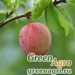 Слива иволистная ф. корейская (Prunus salicina var coreana) 25 гр.
