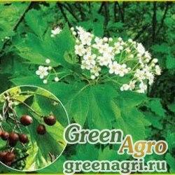 Рябина глоговина (Sorbus torminalis) 15 гр.