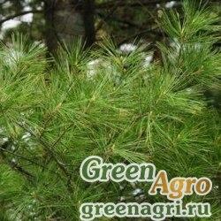 """Сосна Веймутова (Pinus strobus)  """"WI"""" 10 гр."""