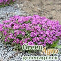 Арабис грандифлора Розовый  (упак-50 гр.)