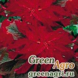 Амарант трехцветный Красный осьминог  (упак-50 гр.)