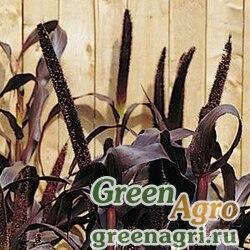 Пеннисетум сизый Pennisetum glaucum PURPLE MAJESTY PURPLE MAJESTY Raw 100