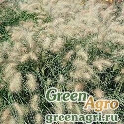 Пеннисетум Pennisetum villosum Pennisetum villosum White spikelets, green leaves Raw 1000