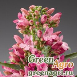 "Пенстемон бородатый (Penstemon barbatus) ""Pinacolada"" (deep rose shades) raw Произв. 1000 шт."