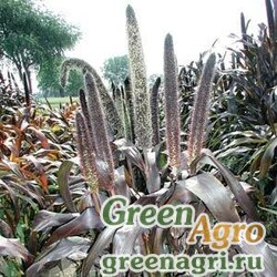 Пеннисетум сизый Pennisetum glaucum PURPLE BARON PURPLE Raw 100