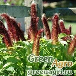 Пеннисетум сизый Pennisetum glaucum JADE PRINCESS RED Raw 1000