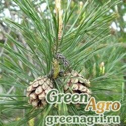 Сосна обыкновенная (Pinus sylvestris) 50 гр.