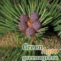 """Сосна желтая (Pinus ponderosa) """"CA"""" 20 гр."""