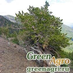 Сосна остистая (Pinus aristata) 5 гр.
