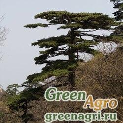 Сосна хуаньшаньская (Pinus hwangshanensis) 20 гр.