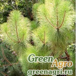 Сосна юннаньская (Pinus yunnanensis) 30 гр.