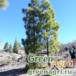 Сосна канарская (Pinus canariensis) 5 гр.
