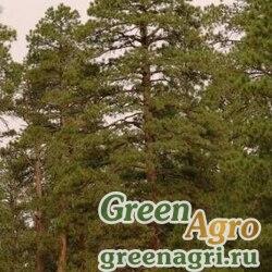 "Сосна желтая (Pinus ponderosa) ""Black Hills S.Dakota"" 10 гр."