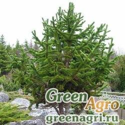 """Сосна остистая (Pinus aristata) """"Carson, NM"""" 10 гр."""