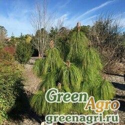 Сосна ложновеймутова (Pinus pseudostrobus) 3 гр.