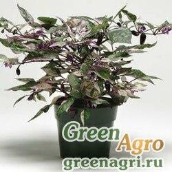 "Перец летний (Capsicum annuum) ""Calico"" (green) raw 100 шт."