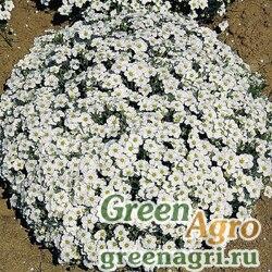 Песчанка горная (Arenaria montana) 0,2 гр.