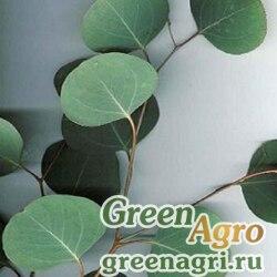 Эвкалипт обильноцветковый (Eucalyptus polyanthemos) 2 гр.