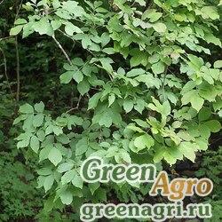 Ясень носолистный (Fraxinus rhynchophylla) 100 гр.