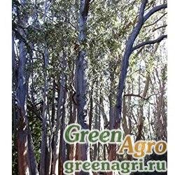 Эвкалипт косой (Eucalyptus obliqua) 3 гр.