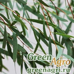 Эвкалипт Николи (Eucalyptus nicholii) 3 гр.