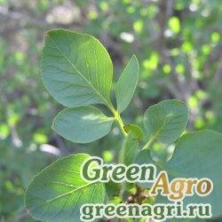 Ясень отклоненный (Fraxinus anomala) 20 гр.